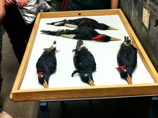 The now-extinct Imperial Woodpecker, the world's largest woodpecker